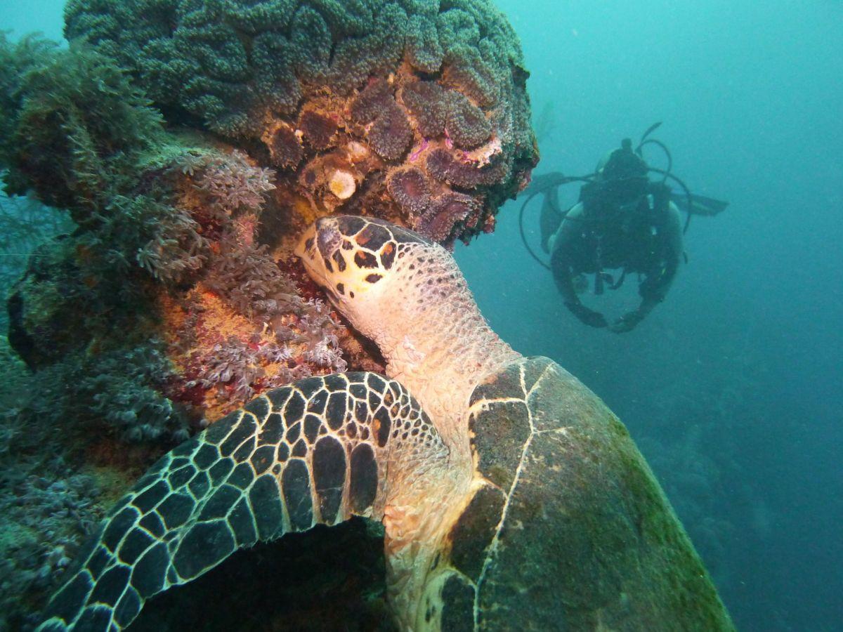 Green turtle in Truk Lagoon