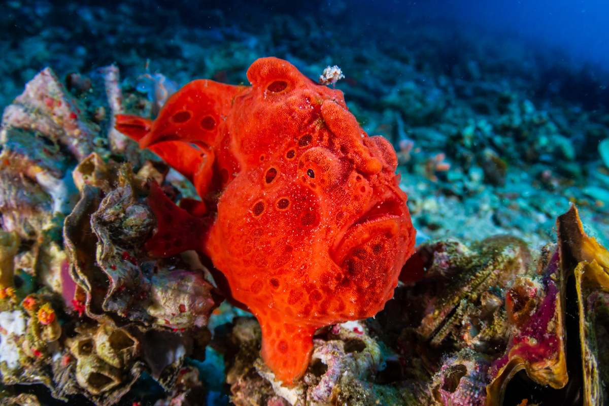 Frogfish in the Philippines