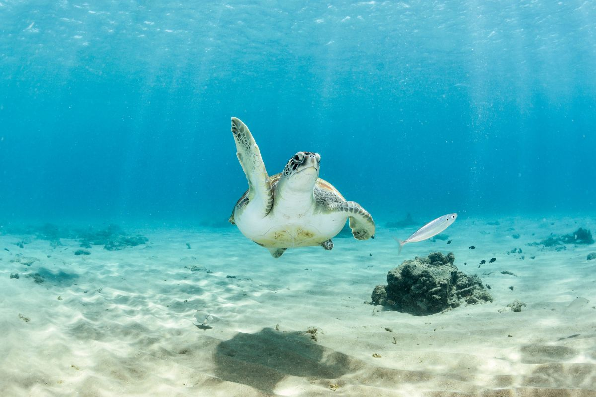 Turtle in the Caribbean