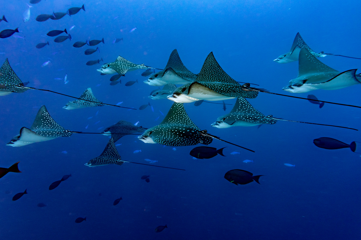 Eagle rays in the Maldives