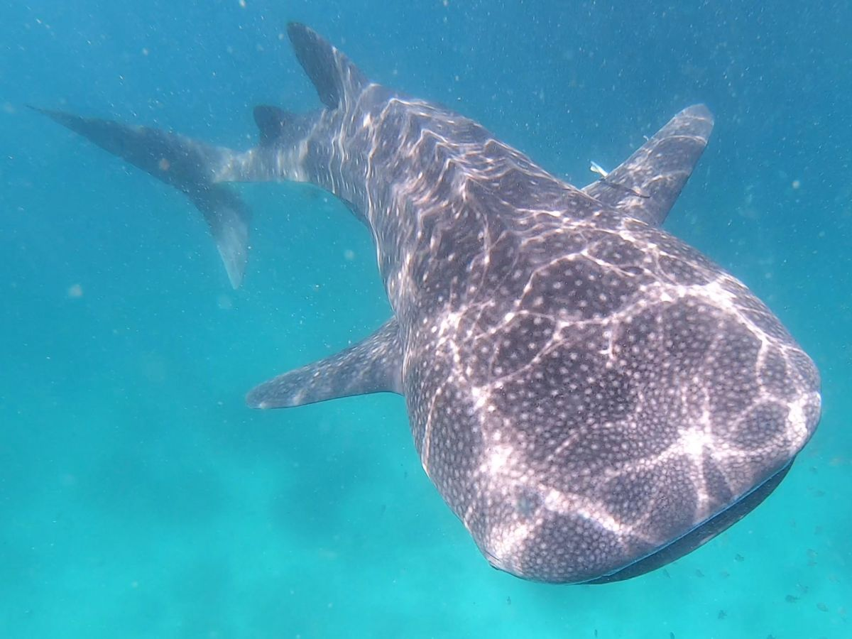 Whale shark in Oman