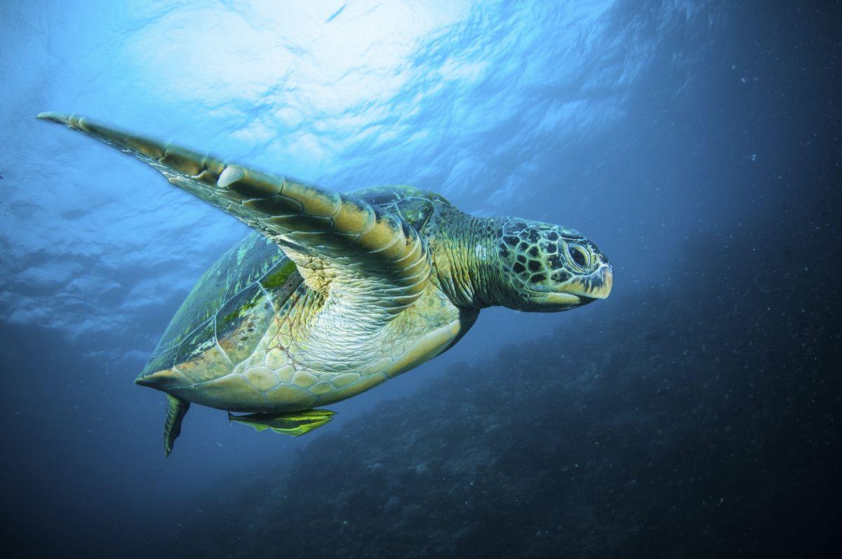 Turtle in Sulawesi, Indonesia