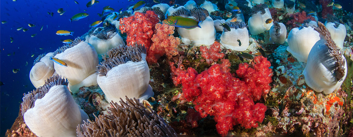 Coral reef and sea anemones in Thailand
