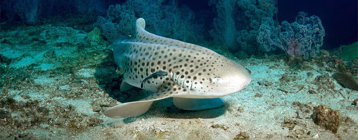 Leopard shark in Thailand