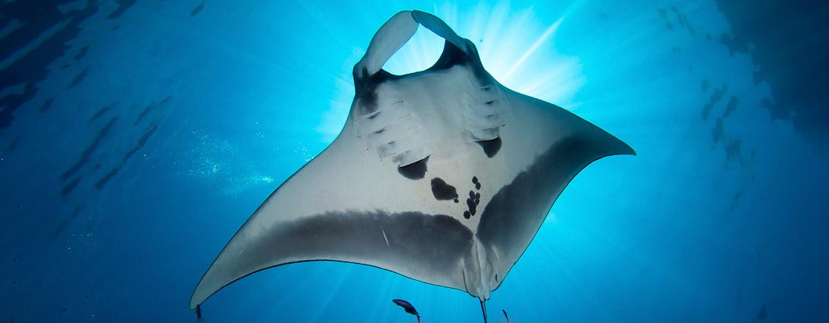 Manta ray in Thailand
