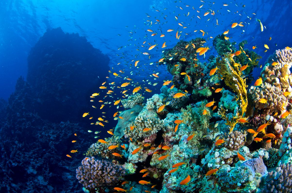 Anthias and corals in the Red Sea, Egypt. Image by Orca Dive Cllub