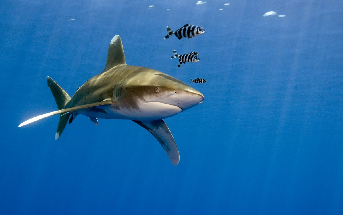 Oceanic white-tip shark in the Red Sea