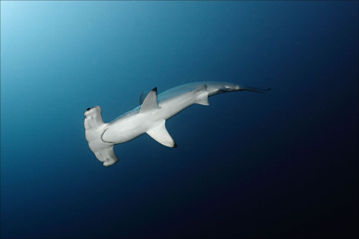 Scalloped hammerhead in the Red Sea