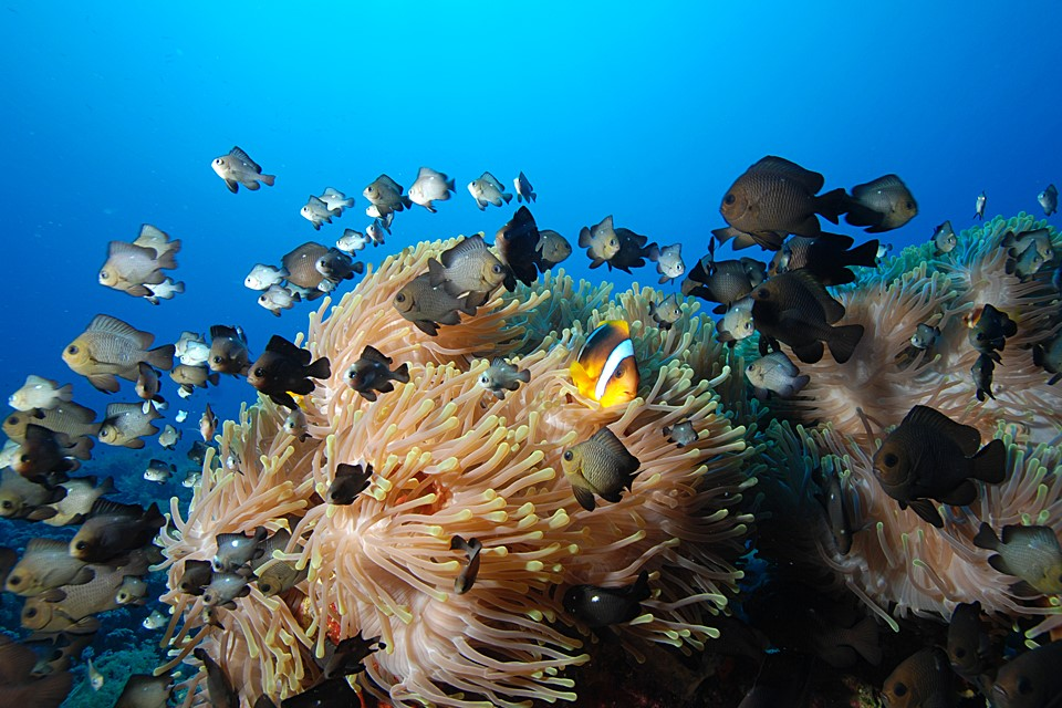 Anemonefish in Sharm el Sheikh. Image by Camel Dive Club