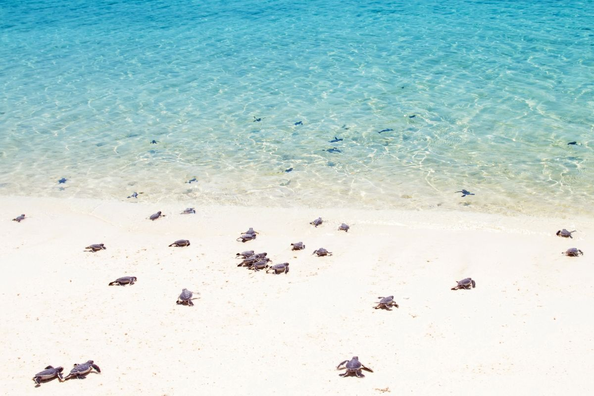 Turtle hatchlings making their way to sea