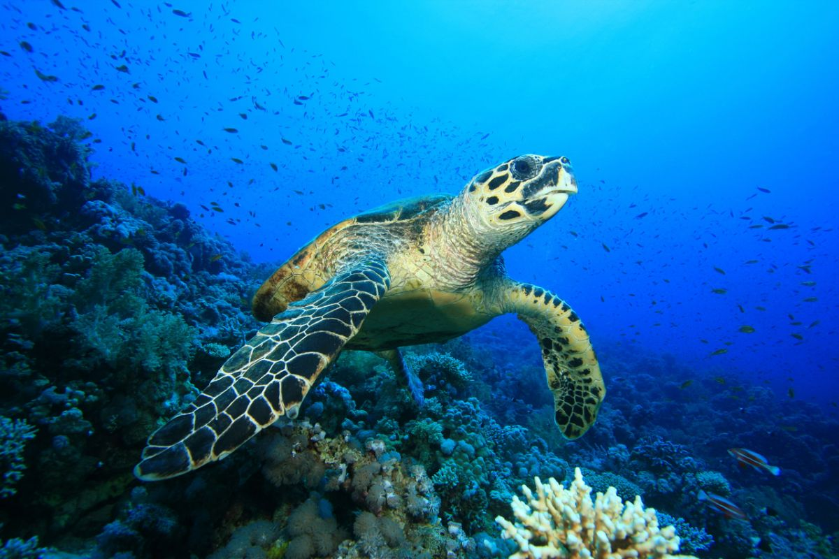 Hawksbill turtle on a coral reef in the Red Sea