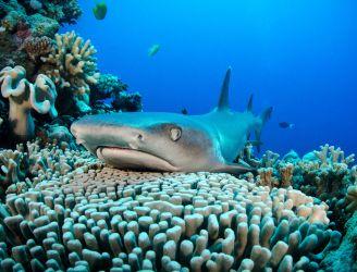 Whitetip Reef Shark © Malcolm Nobbs