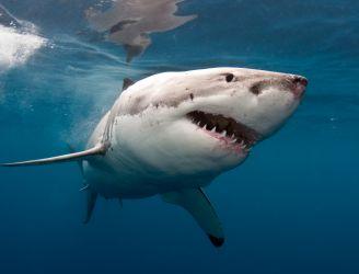 Great White Shark, Malcolm Nobbs