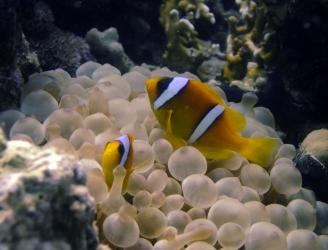 Anemone Fish in Hamata