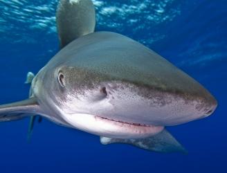 Oceanic Whitetip Shark - image courtesy of Malcolm Nobbs