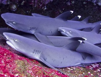 White Tip Reef Sharks © John Butland - Regaldive