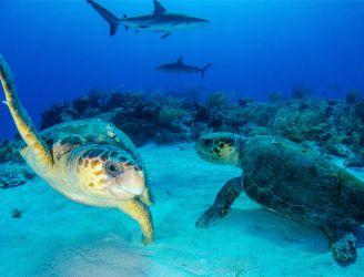 Turtles in Tiger Beach in Bahamas