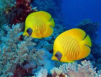 Masked butterflyfish in the Red Sea