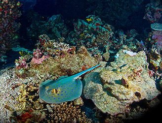 Blue-spotted ribbontail ray in the Red Sea. Copyright Orca Dive Club