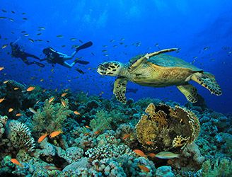 Hawksbill turtle and divers exploring a coral reef in the Red Sea