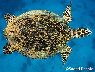 Top view of a turtle in the Red Sea. Copyright Saeed Rashid