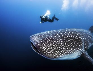 Whale shark in the Galapagos