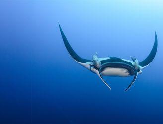 Manta ray in Revillagigedo archipelago in Mexico