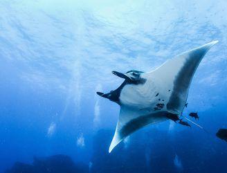 Manta ray in Socorro, Mexico