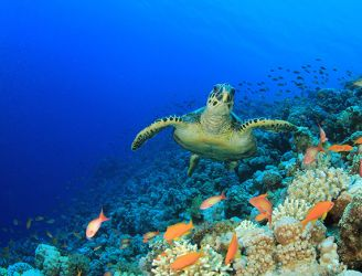 Hawksbill sea turtle in the Red Sea