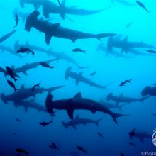 Cocos Hammerheads