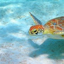 Green turtle in Bonaire