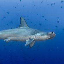 Hammerhead shark in Cocos Island, Costa Rica