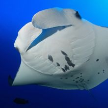 Manta ray in Maldives