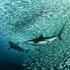 Sardine Run with SEAL