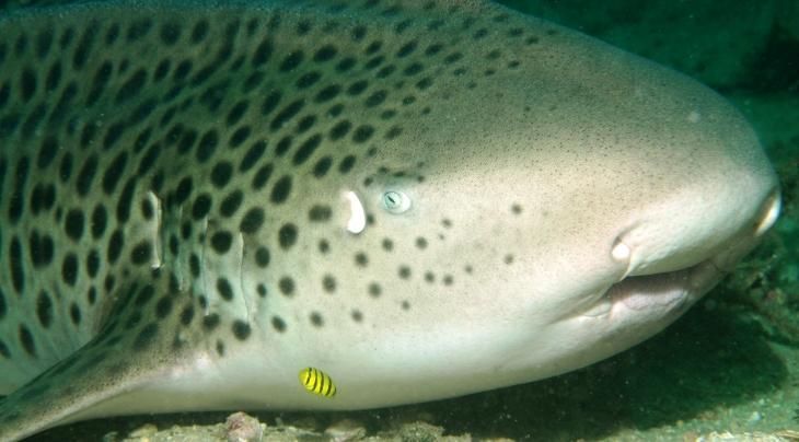 Leopard Shark Extra Divers