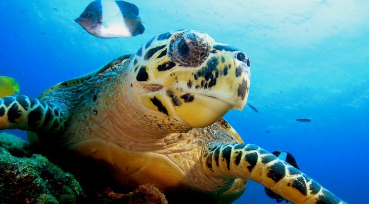 Hawksbill Turtle Malcolm Nobbs