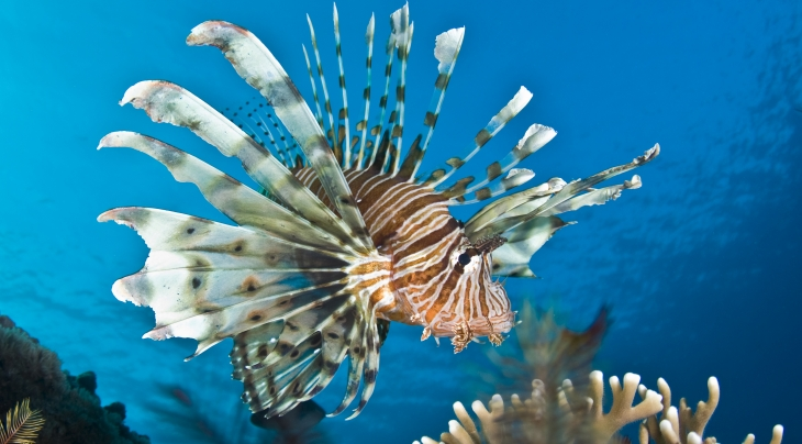 Lionfish Malcolm Nobbs