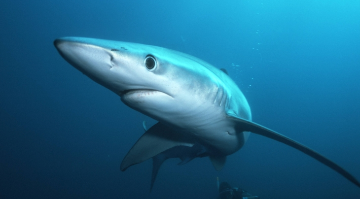 Blue Shark © Oceans-Image/Photoshot