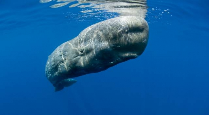 Sperm Whale © Oceans-Image/Photoshot